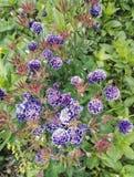 "Aquilegia η vulgaris ""Christa Barlow "", χαριτωμένο μπλε πορφυρό columbine στοκ φωτογραφία"
