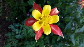 Aquilegia, καπό γιαγιάδων ` s, κόκκινο και κίτρινο λουλούδι columbine Στοκ Εικόνες