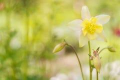 Aquilegia λουλουδιών σε ένα ήπια πράσινο υπόβαθρο Μαλακή εκλεκτική εστίαση Στοκ Φωτογραφίες