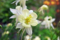 Aquilegia λουλουδιών Στοκ Εικόνες