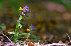 Aquilegia λουλουδιών vulgaris - κοινό columbine Στοκ Εικόνες