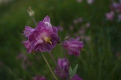 aquilegia ρόδινη κινηματογράφηση σε πρώτο πλάνο υποβάθρου λουλουδιών πράσινη Στοκ φωτογραφίες με δικαίωμα ελεύθερης χρήσης