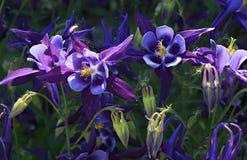 Aquilegia όμορφα λουλούδια Στοκ φωτογραφία με δικαίωμα ελεύθερης χρήσης