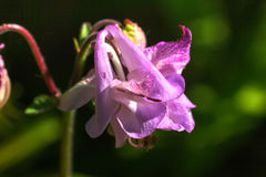 Aquilegia Цветок сада Стоковая Фотография RF
