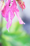 Aquilegia水盖的花瓣滴下反对被弄脏的背景 免版税库存照片