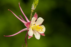 Aquilegia. Makro, multicolered flower. Isolated from green background Stock Photography
