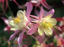 Aquilegia. A beautiful garden flower Stock Image