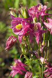 Aquilegia Royalty Free Stock Photo