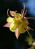 Aquilegia Stock Photo