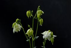 Aquilegia Royalty Free Stock Images