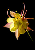 A beautiful flowerAquilegia Royalty Free Stock Photography
