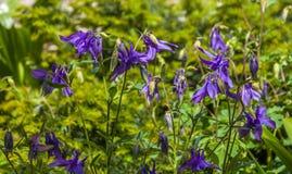 Aquilegia babci aka czapeczki lub kolombiny purpury kwitną obrazy stock