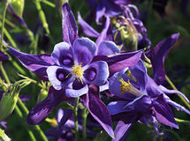Aquilegia. Royalty Free Stock Image
