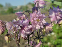 Aquilegia Royalty Free Stock Photos