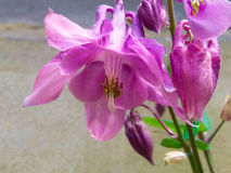 Aquilegia. Beautiful unpretentious flower perennial Stock Photos