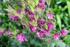 Aquilegia, bloemenroze Stock Afbeeldingen