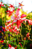 Aquilegia caerulea 'Red hobbit' flowers Royalty Free Stock Photos