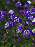 Aquilegia Stock Photos
