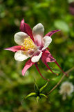 Aquilegia (Colombine) Stock Photo
