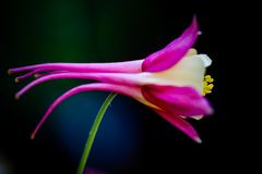 Aquilegia, Columbine, swan pink and yellow macro flower. Close up full frame crop. Ultra violet macro flower head on black background royalty free stock image