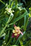 Aquilegia com flor do tradescantia Imagens de Stock Royalty Free