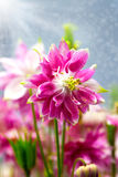 Aquilegia (common names: Granny's Bonnet or Columbine) Stock Image