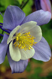 Aquilegia cultivar. A blue Aquilega garden cultivar photographed in flower Stock Photo