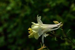 Aquilegia Flor del jardín Fotos de archivo