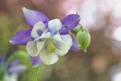 Aquilegia flower Royalty Free Stock Photography