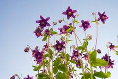 Aquilegia flower elf Royalty Free Stock Photo