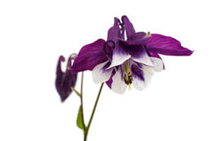 Aquilegia flower isolated Stock Image