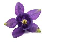 Aquilegia flower isolated Royalty Free Stock Photo