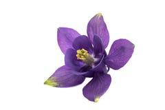 Aquilegia flower isolated Stock Images