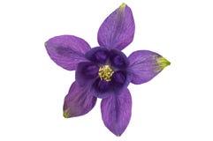 Aquilegia flower isolated Royalty Free Stock Photos