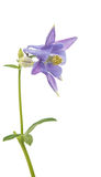 Aquilegia flower isolated Royalty Free Stock Image