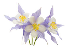 Aquilegia flower isolated Royalty Free Stock Images