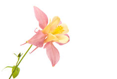 Aquilegia flower isolated Royalty Free Stock Photos