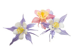 Aquilegia flower isolated Stock Photography