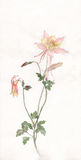 Aquilegia flower watercolor painting. The hand drawn watercolor of a yellow-pink aquilegia flower Royalty Free Stock Photo
