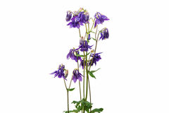 Aquilegia flower  Royalty Free Stock Images