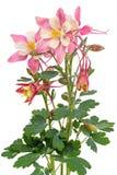 Aquilegia flower on white Stock Photos