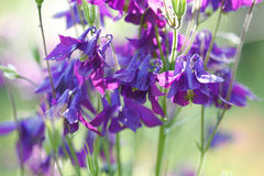 Aquilegia flowers Royalty Free Stock Photography