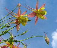 Aquilegia flowers Royalty Free Stock Photos