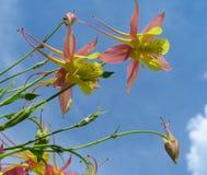 Aquilegia flowers royalty free stock photos