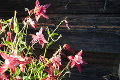 Aquilegia flowers against wooden wall stock photo
