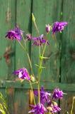 Aquilegia flowers. Aquilegia vulgaris - Common columbine isolate Stock Photography