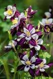 Aquilegia flowers Stock Images