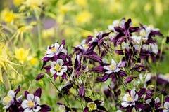 Aquilegia flowers Stock Photography