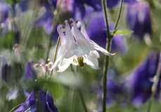 Aquilegia. Flowers in an English garden Royalty Free Stock Photography