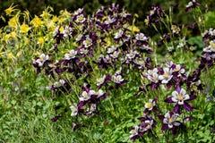 Aquilegia flowers Stock Photos